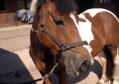 Horse grooming in stable yard